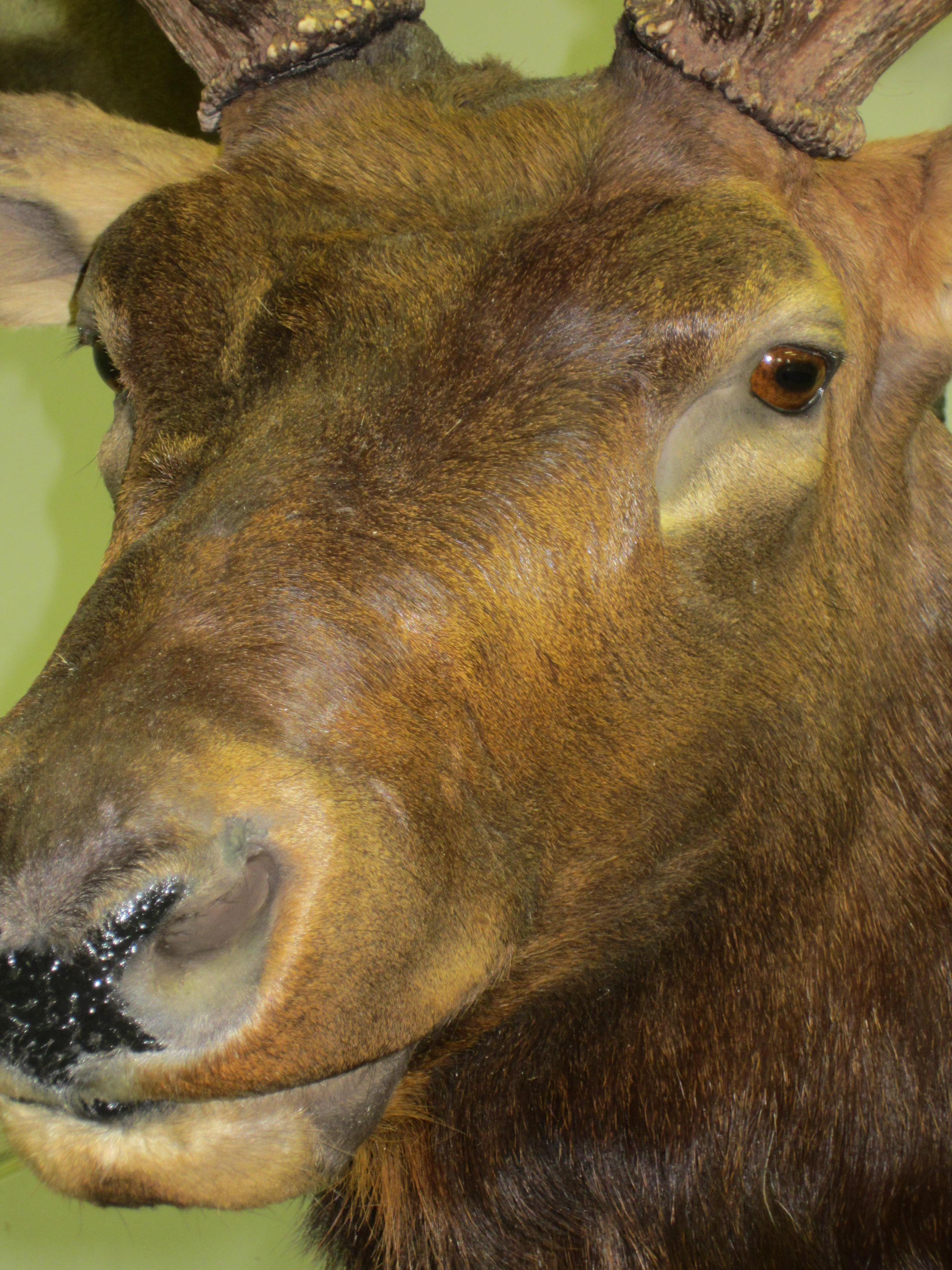 Jakes custom taxidermy elk elk close up publicscrutiny Image collections